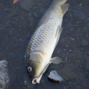 ダルドで釣れた巨鯉 目つきが悪い